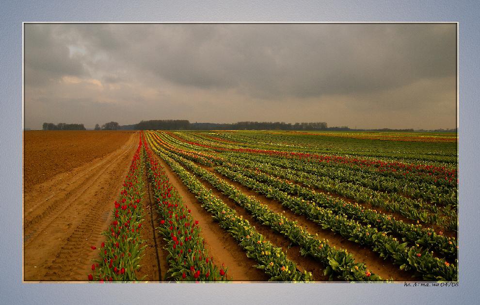 Tulpen am Niederrhein........I