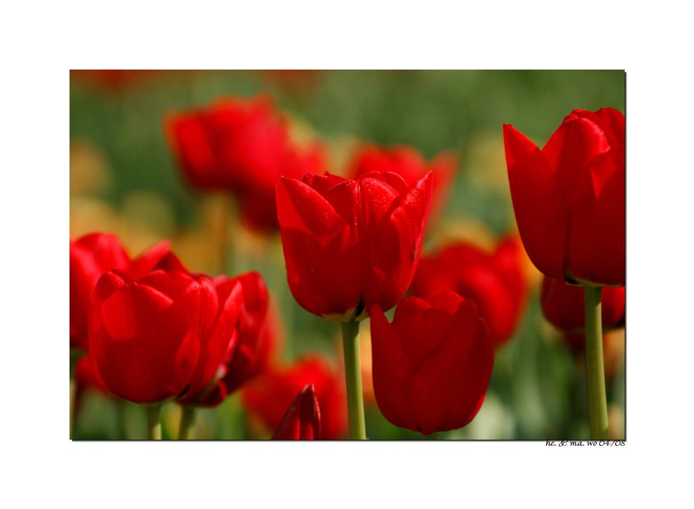 Tulpen am Niederrhein...IV