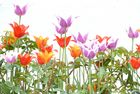 Tulpen anders
