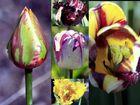 Tulpen auf der BUGA 09