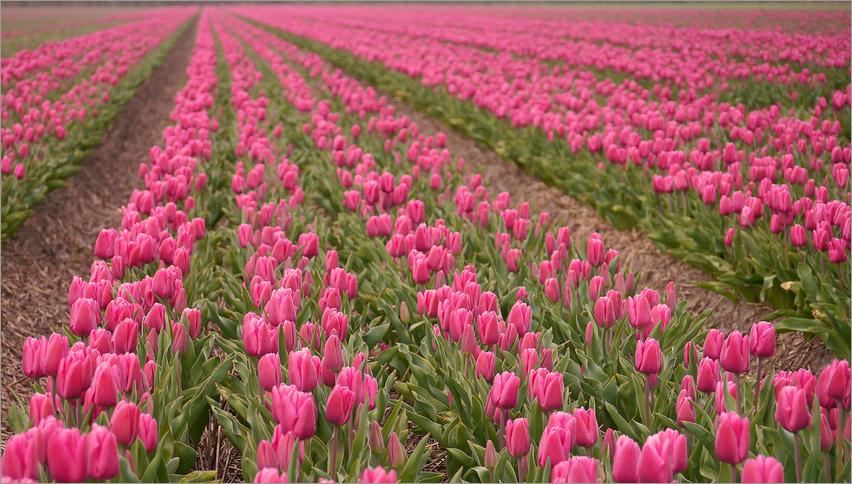Tulpen - aufgereiht...