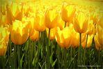 Tulpen aus Amsterdam .....