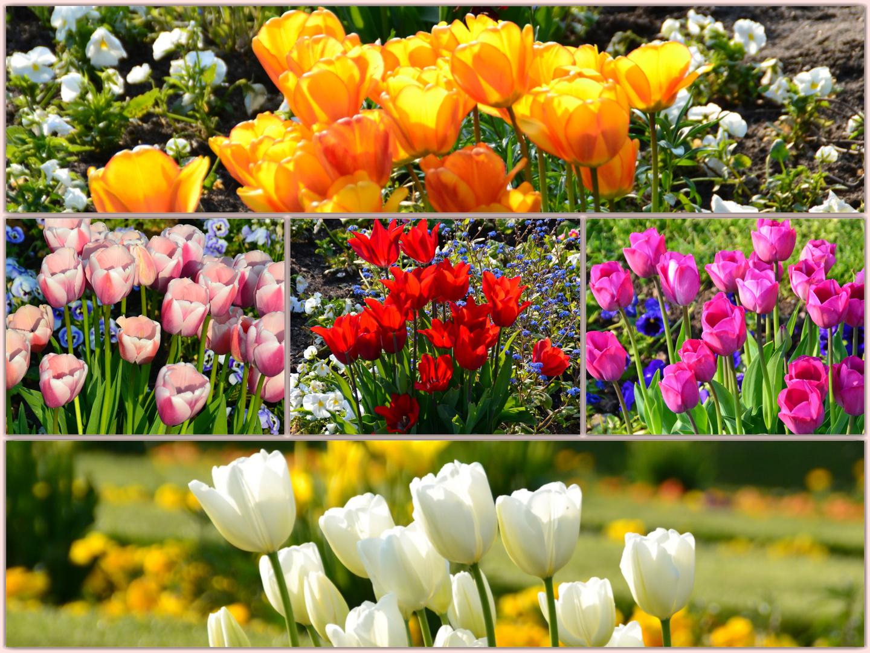 """""""Tulpen aus Amsterdam"""""""
