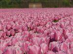 ...Tulpen aus Amsterdam...