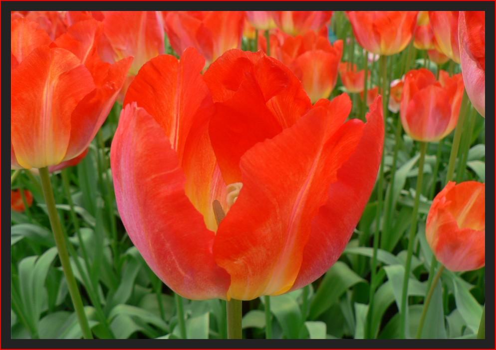 Tulpen aus Amsterdan...