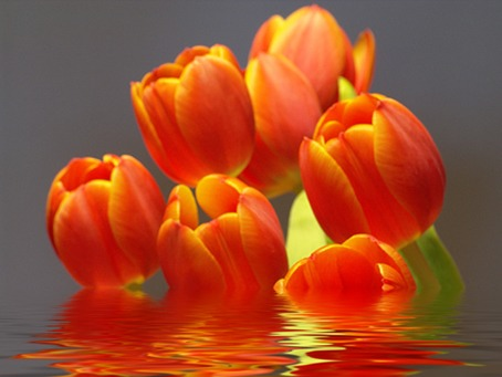 Tulpen aus dem Wasser