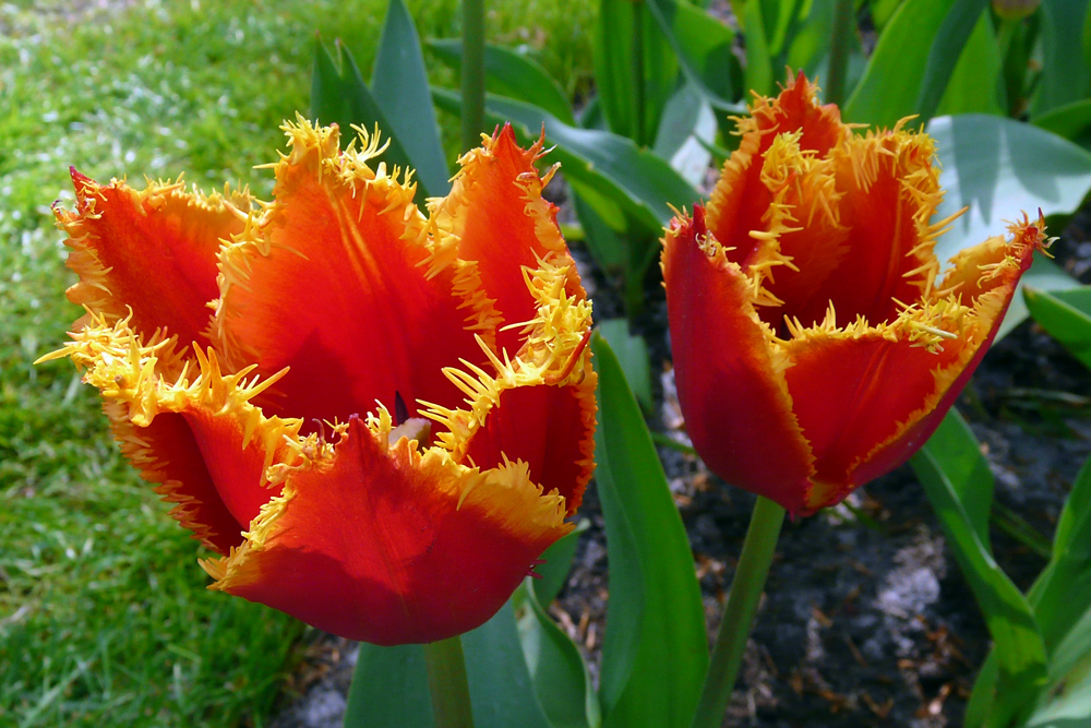 tulpen aus holland foto bild pflanzen pilze flechten bl ten kleinpflanzen tulpen. Black Bedroom Furniture Sets. Home Design Ideas