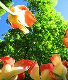Tulpen aus ihrer Sicht