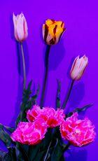 Tulpen aus meinem Garten