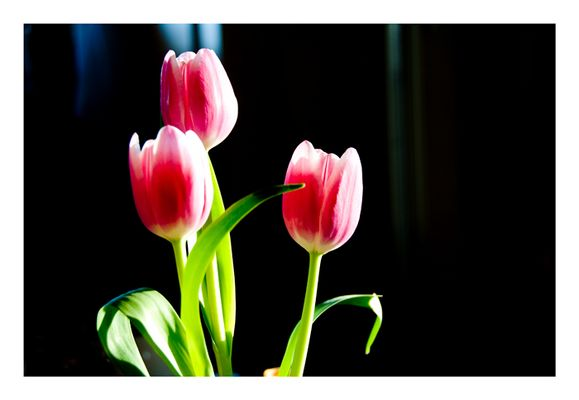 Tulpen aus München...