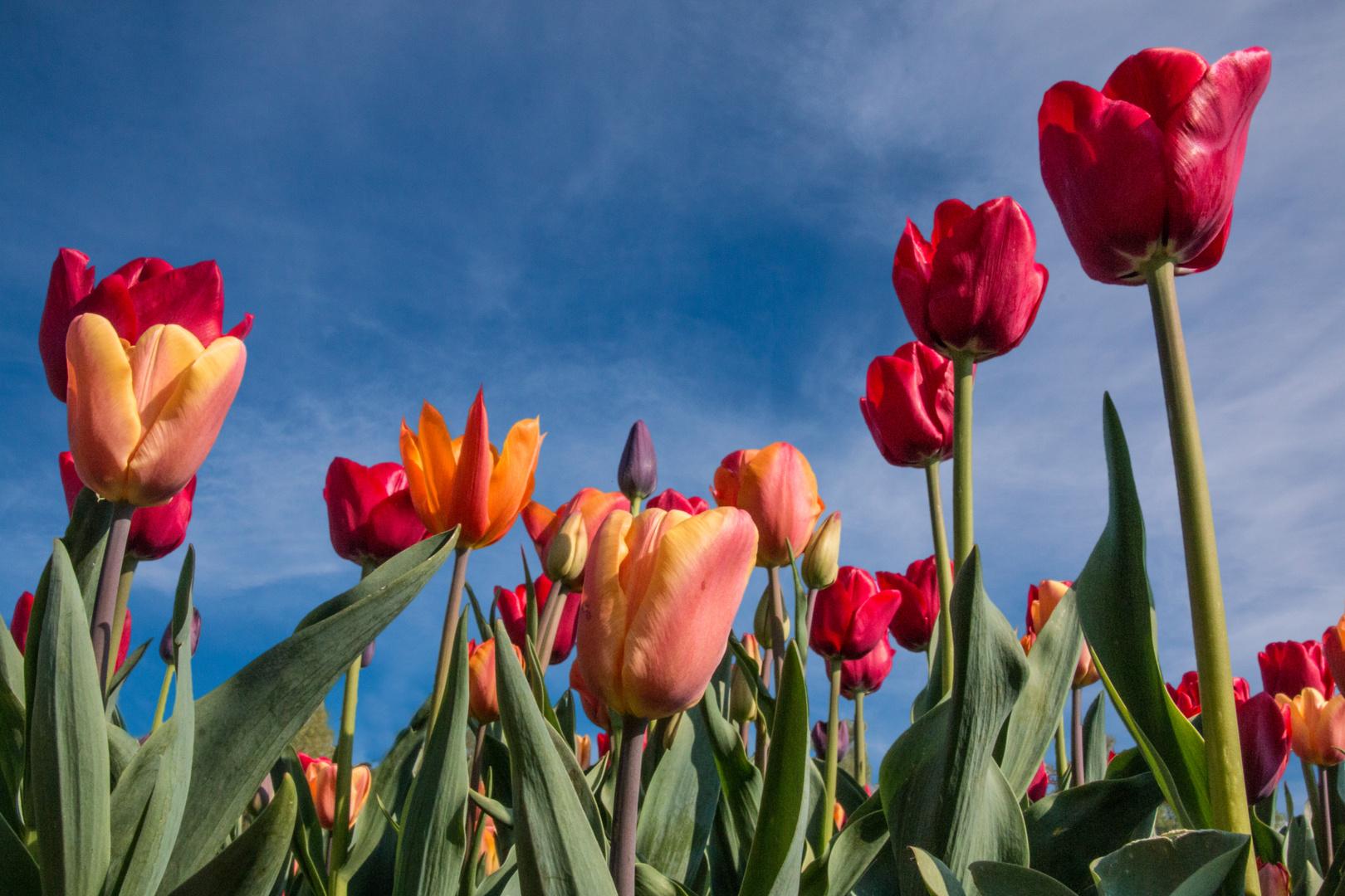 Tulpen aus Papenburg