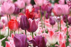 Tulpen aus Rotterdam