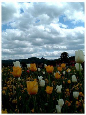 Tulpen aus Wernigerode