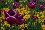 Tulpen aus Zofingen