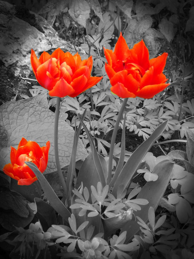 Tulpen, bearbeitet