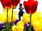 Tulpen bei Tag