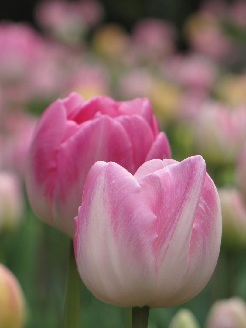 Tulpen Bollen