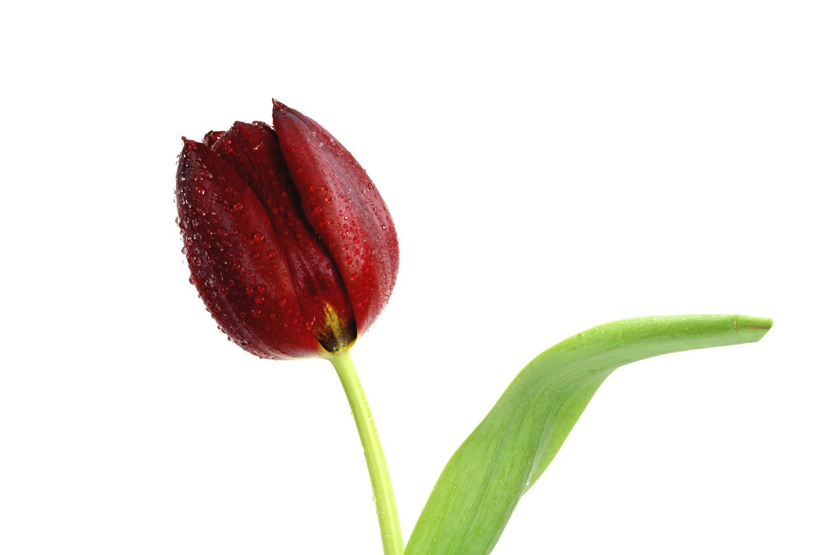 Tulpen c