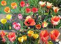 Tulpen-Collage von Günter Walther