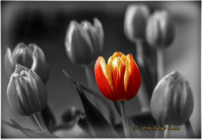 Tulpen Colorkey