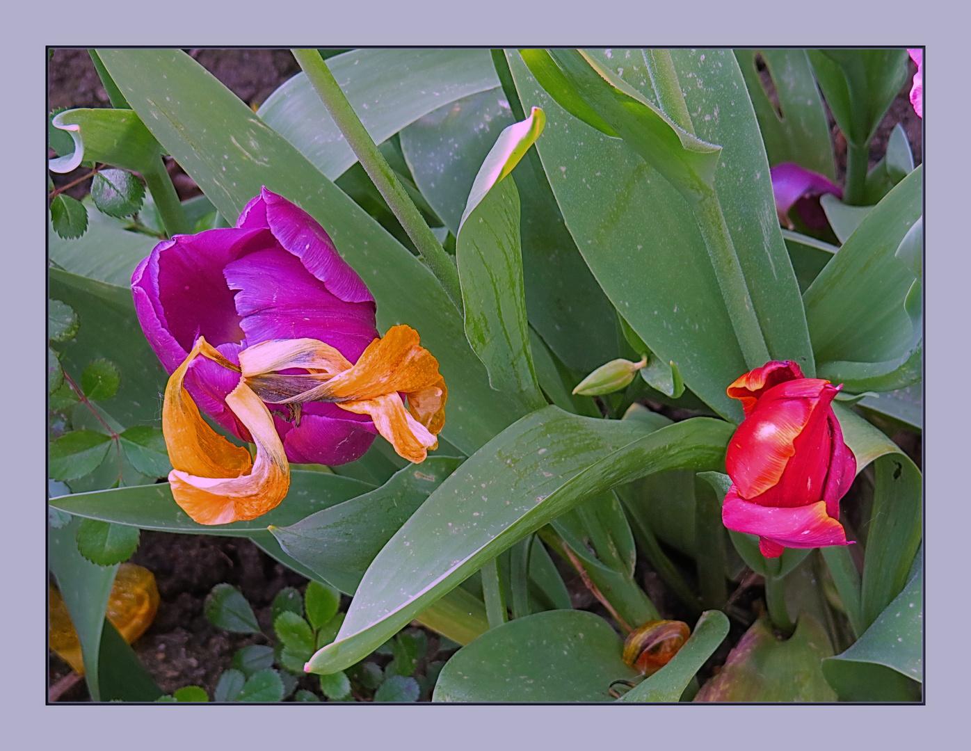 Tulpen - die einen kommen, die anderen gehen...