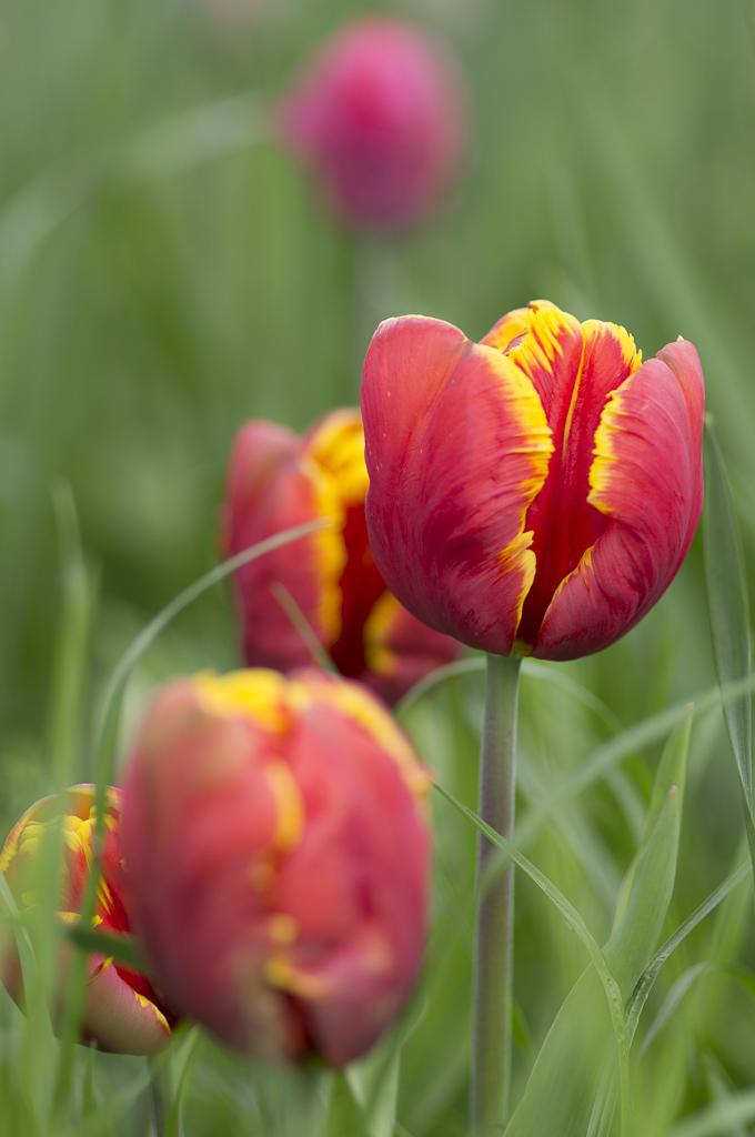 Tulpen die Erste