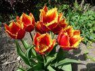 Tulpen die mich an hungrige Vögelchen erinnern