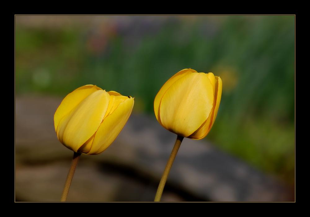 Tulpen-Duo