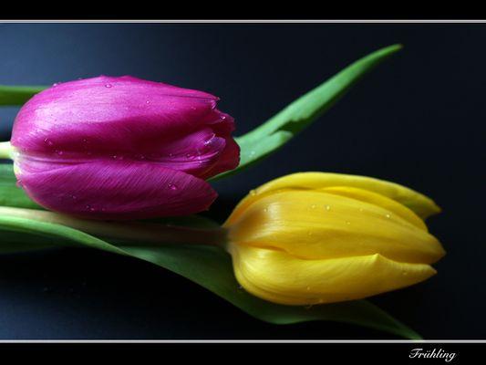 *Tulpen-Duo*