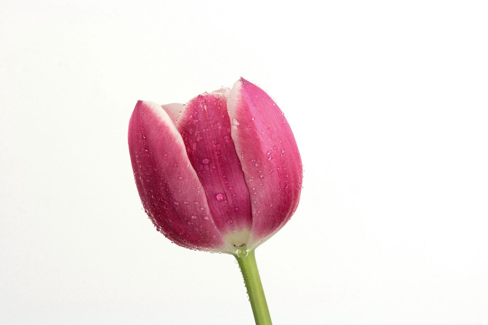 Tulpen e
