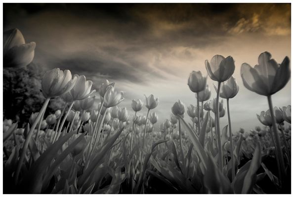 Tulpen from Holland