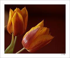 Tulpen für alle FC User