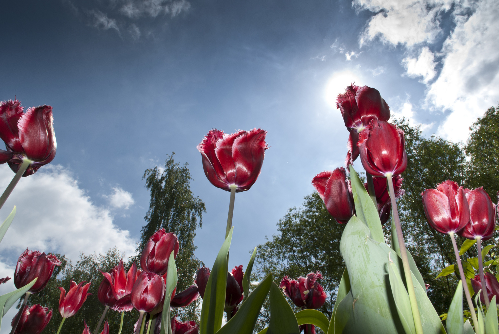 Tulpen gegen den Himmel
