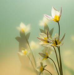 Tulpen, gelb und wild