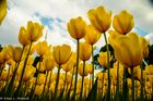 Tulpen gen Himmel