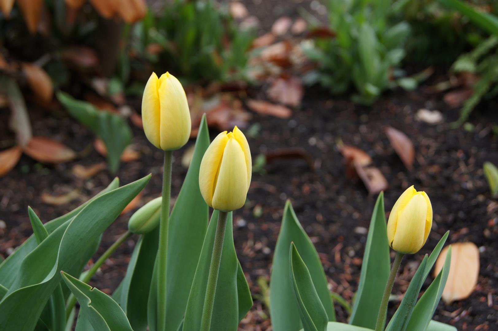 Tulpen geschlossen bei -2°C
