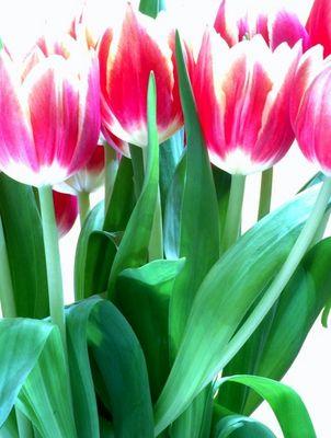 Tulpen - grell