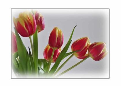 Tulpen Gruß zum Frühlingsanfang