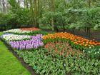 Tulpen, Hyazinthen u. Narzissen