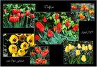 Tulpen im April