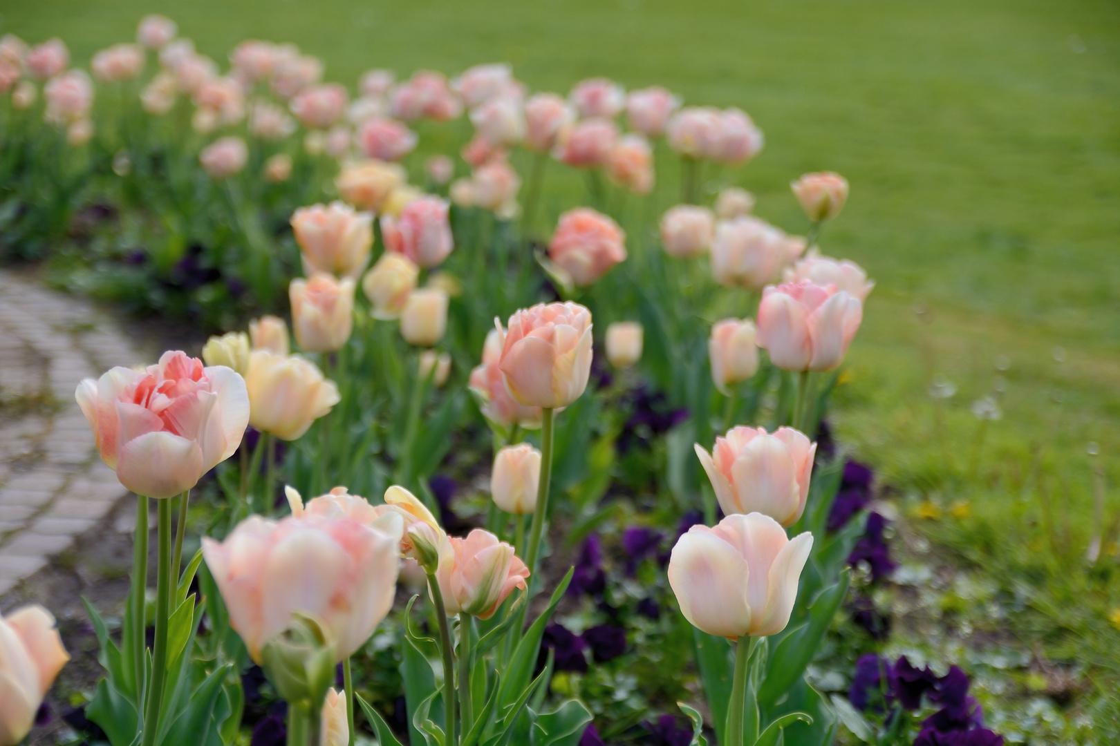 Tulpen im Botanischen Garten in Karlsruhe