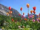 Tulpen im Fjord