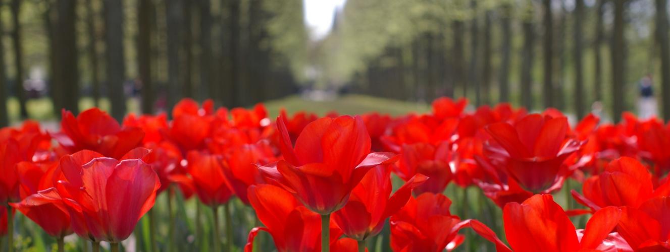 Tulpen im Französischen Garten (Celle)