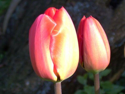 Tulpen im Frühjahr