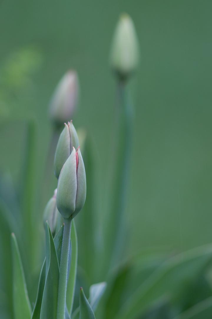 Tulpen im Garten 1