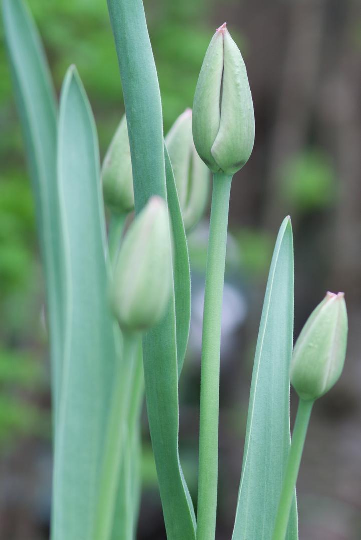 Tulpen im Garten 2
