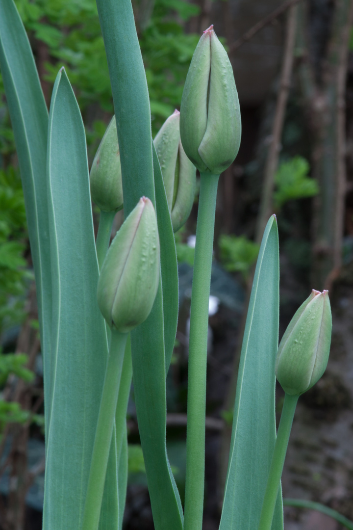 Tulpen im Garten 3