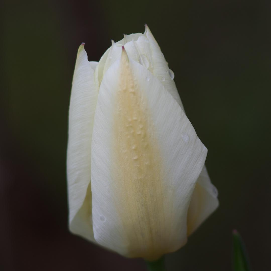 Tulpen im Garten 4
