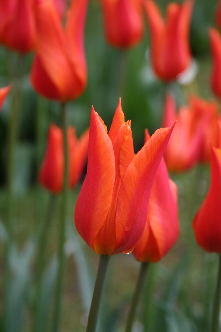 Tulpen im Gräflichen Park