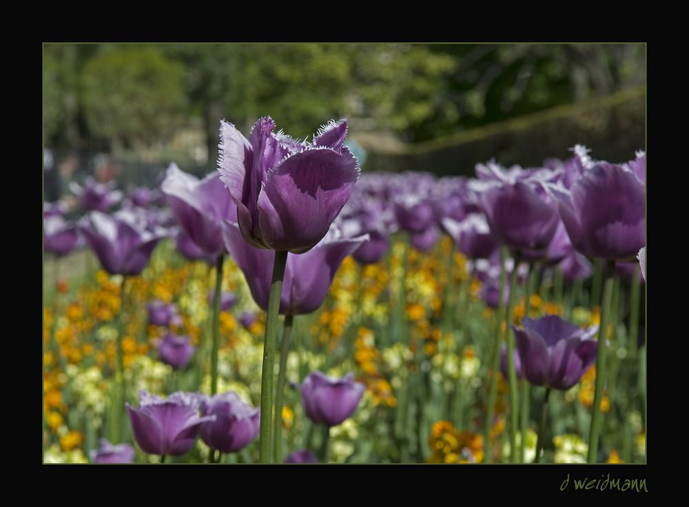Tulpen im Jardin du Luxembourg